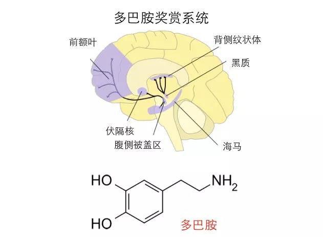 它们的一个共同点是:都可以激活我们大脑中跟奖赏相关的多巴胺系统.图片